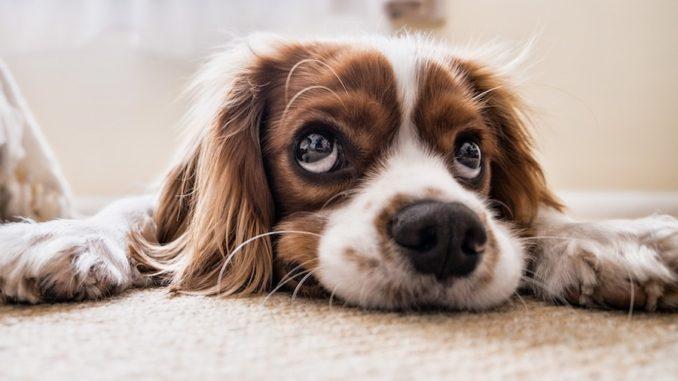 hund kæledyr hvalp